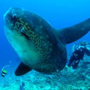 lembongang snorkeling bali with mola mola