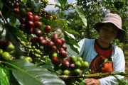 luwak bali coffe plantation is a must see when visiting bali