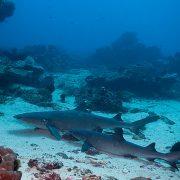 Scuba Diving Bali - Padangbai - dive with sharks