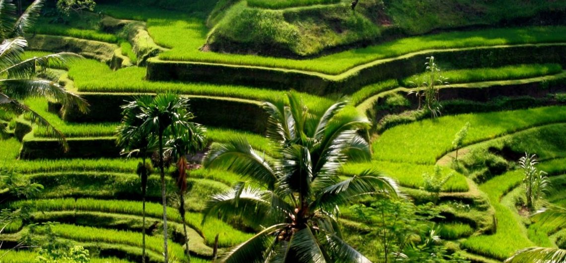 ubud most popular rice paddy viewing
