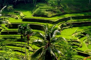 view bali's rice field in ubud