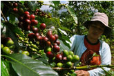 Coffee Plantation Bali Tour