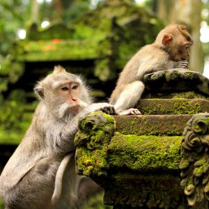 see the cheeky monkeys in Ubud monkey forest