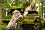 local monkey is ubud monkey forest