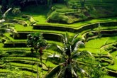 Tegalalang Rice Field Tour